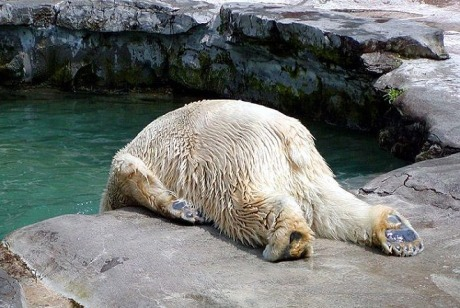 Drunk Polar Bear