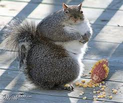 Fat-squirrel-2